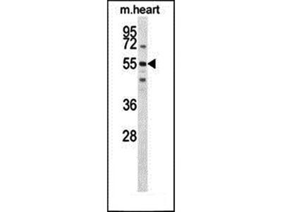 SPATC1 antibody