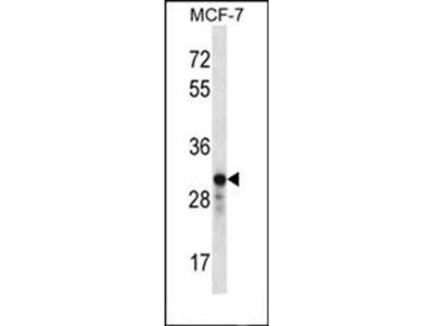 GRAP2 antibody
