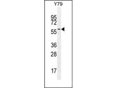 LENG9 antibody