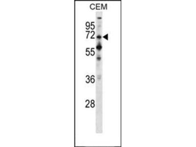PPEF1 antibody