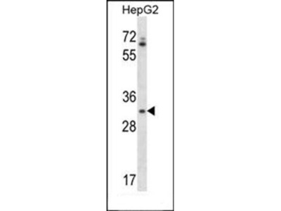 OR4Q3 antibody