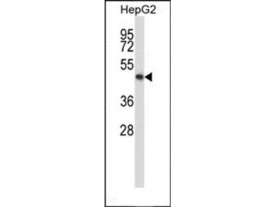KCNK10 antibody
