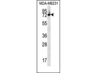 SIX5 antibody