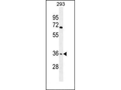 OR4F15 antibody