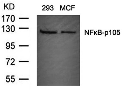 NFkB p105/p50 antibody