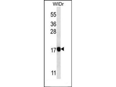 PAEP antibody