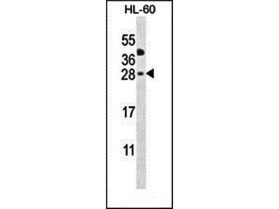 CLEC2A antibody