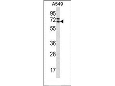 PIK3AP1 antibody