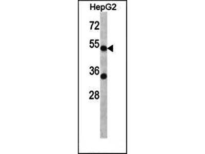 ADRA2C antibody