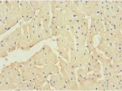 TTC32 antibody