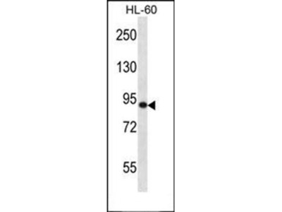 SP140 antibody
