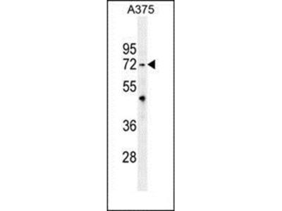 TRIM56 antibody