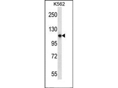PLEKHM1 antibody