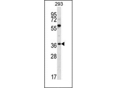 NPTN antibody