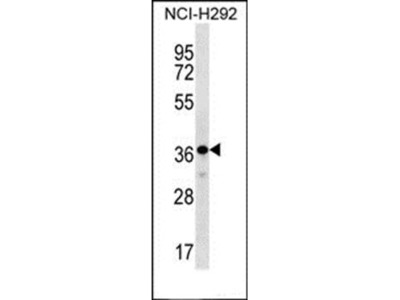 THAP8 antibody