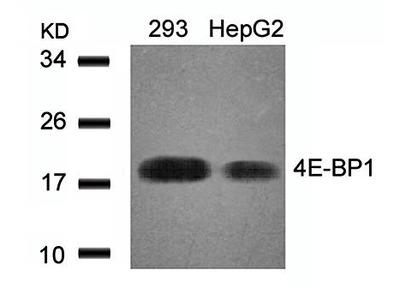 4EBP1 antibody