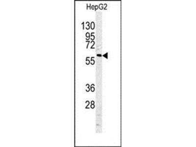 CASP10 antibody
