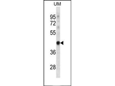 TRUB1 antibody