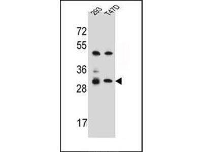 OR4P4 antibody