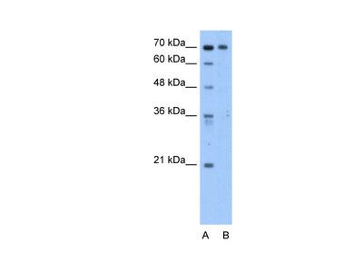 C9orf96 Antibody