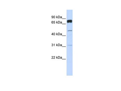 PLEKHA4 Antibody