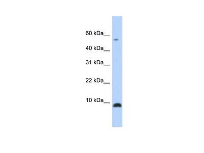 CXCL6 Antibody