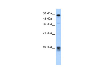 S100A3 Antibody