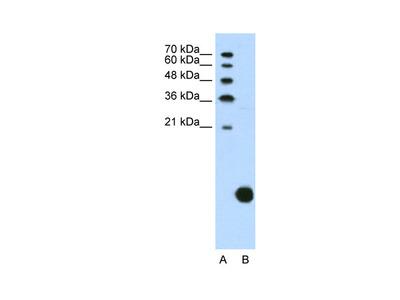 RPS29 Antibody