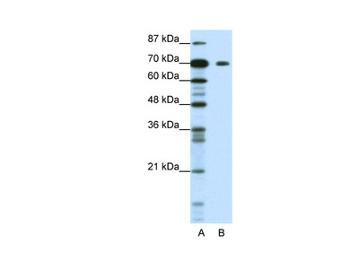 KLHL26 Antibody