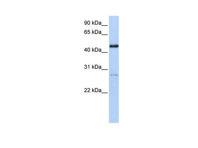NR2F1 Antibody