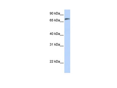 C14orf37 Antibody