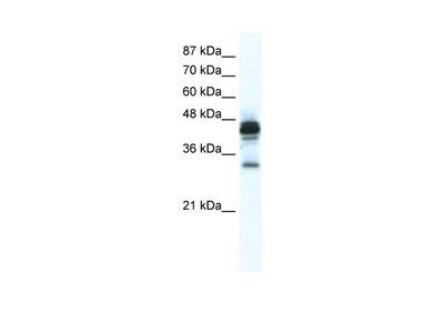 GJE1 Antibody