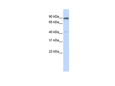 CCNT1 Antibody