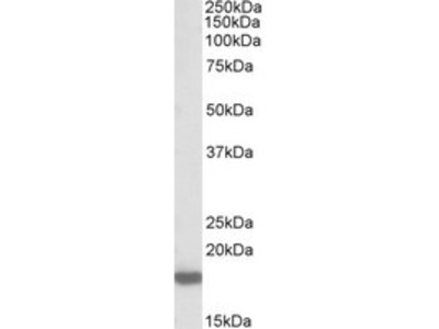 PTN / Pleiotrophin Polyclonal Antibody