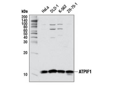 ATPIF1 Antibody