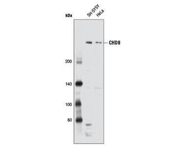 CHD8 Antibody