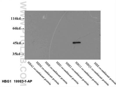 HBG1-Specific Antibody