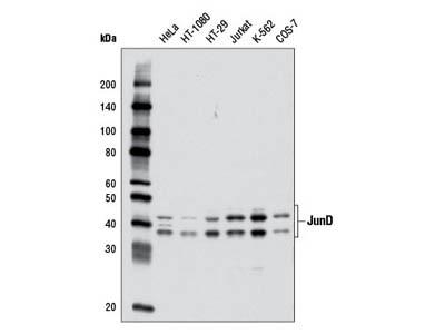 JunD (D17G2) Rabbit mAb