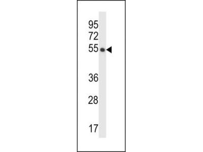CRTRT1 antibody