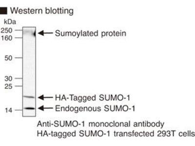 Anti-SUMO-1 (Human) mAb