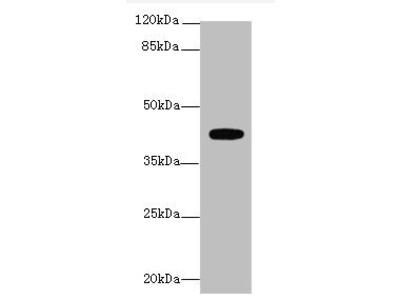 LPAR4 antibody