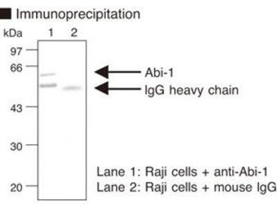 Anti-Abi-1 (Abl interactor 1) (Human) mAb