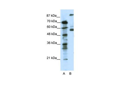 HTR7 antibody - N-terminal region (AVARP13048_P050)