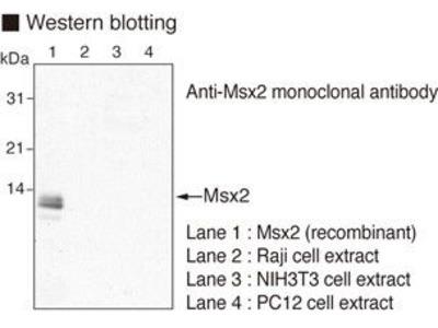 Anti-Msx2 (Human) mAb