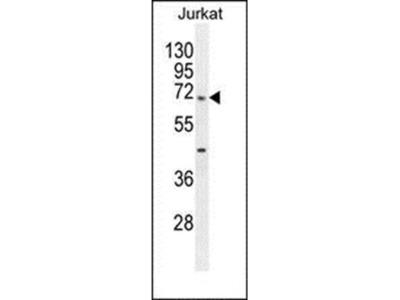 TBC1D3H antibody
