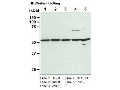 Anti-rck (p54) pAb