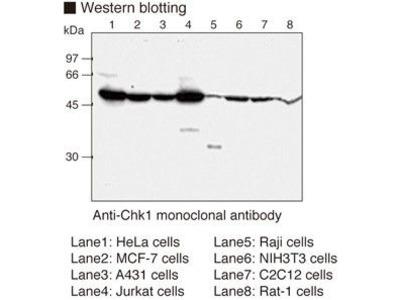 Anti-Chk1 (Human) mAb