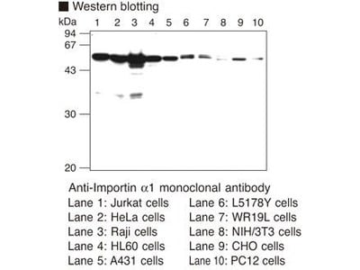 Anti-Importin alpha1 (Rch1) (Human) mAb