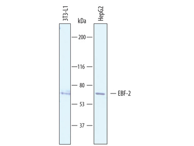 Use Of EBF-2 Antibody From R&D Systems On Embryonic Tissue