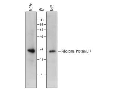 Ribosomal Protein L17 Antibody